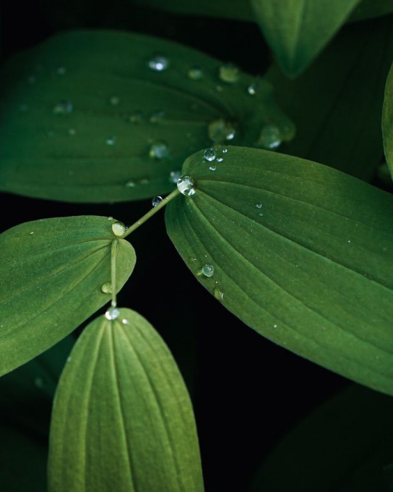 Leafs with water drops