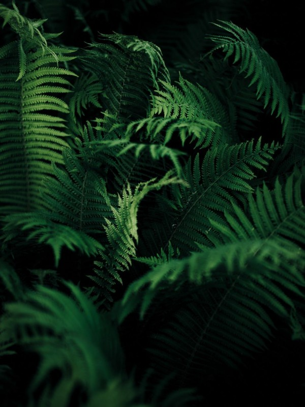Ferns in the dark