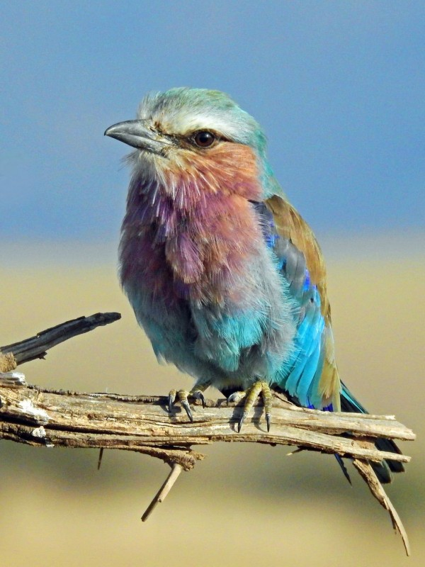 A lilac-breasted roller sitting on a branch